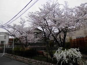 桜の下に雪柳
